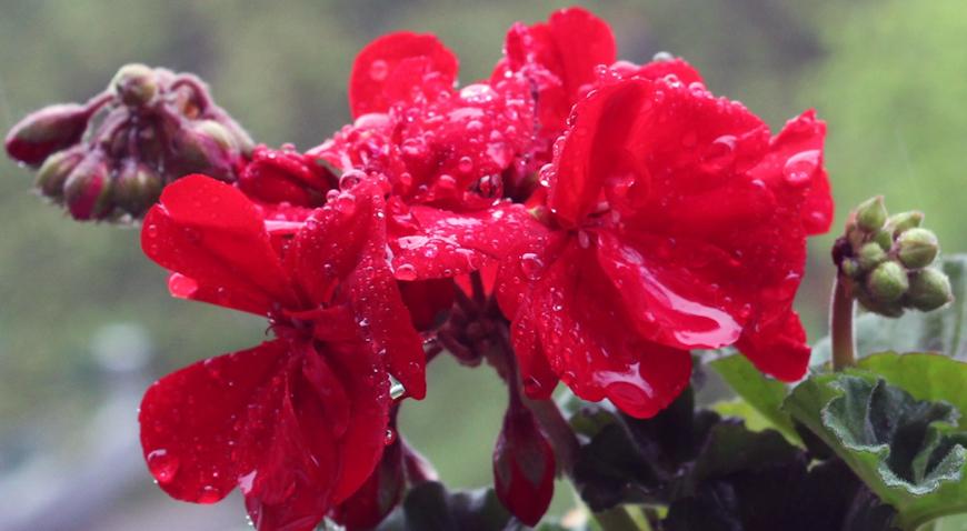 Kapi kiše na cvijeću