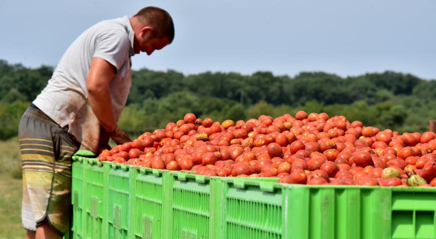 Kvaliteta ovogodišnjih rajčica je velika