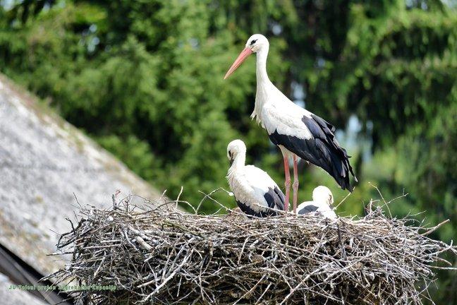 Dan roda obilježen u Donjoj Kupčini, selu s najviše gnijezda u Zagrebačkoj županiji